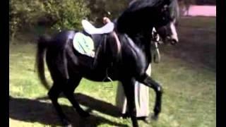 getlinkyoutube.com-تدريب خيول الأدب   عرض تشغيل الحصان على يد المدرب