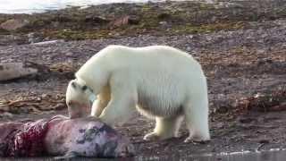 getlinkyoutube.com-Polar Bear Female feasting on a carcass - Svalbard cruise