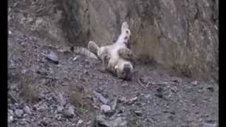 getlinkyoutube.com-Snow Leopard-1st Kill After Being Tagged