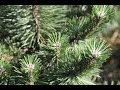 Pin pinus glauca - planteztop.fr