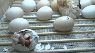 getlinkyoutube.com-incubadora casera nacimieto de pollitos