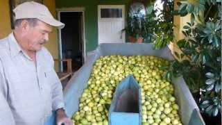getlinkyoutube.com-Guayaberos de San Tadeo Calvillo (5/7)