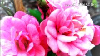 getlinkyoutube.com-กุหลาบแดง : สวัสดีวันอาทิตย์