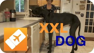 getlinkyoutube.com-Amerika XXL: Der größte Hund der Welt | Riesige Tiere