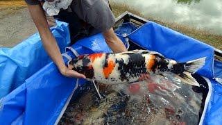 getlinkyoutube.com-Pond Harvest Special koi.