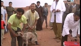 getlinkyoutube.com-Le monde des animaux au Maroc - Chiens de la chasse  عالم الحيونات بالمغرب - الكلب السلوقي