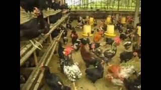 getlinkyoutube.com-INDUKAN AYAM KUB AGNI JAYA FARM