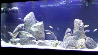 getlinkyoutube.com-125 Gallon African Cichlid Mbuna Tank Update