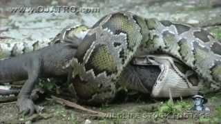 getlinkyoutube.com-Anaconda engole jacaré vivo. Python eats Alligator