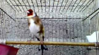 getlinkyoutube.com-حسون Chardonneret_élégant European Goldfinch