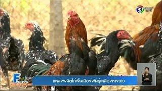 getlinkyoutube.com-GoodMorningFamilyNews | เกษตร ฮอตนิวส์ - แหล่งผลิตไก่พื้นเมืองพันธุ์เหลืองหางขาว | 14-01-58