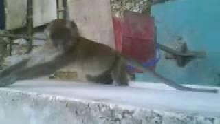Monyet yang lagi nafsu sex