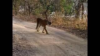 Tiger in Jim Corbett Nainital
