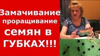 СЕМЕНА В ГУБКАХ (МОЧАЛКАХ) - Замачивание, закаливание, проращивание!