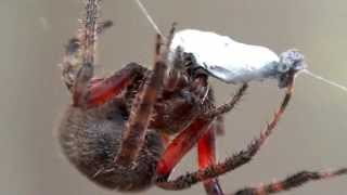 getlinkyoutube.com-Spider wrapping and feeding on ant