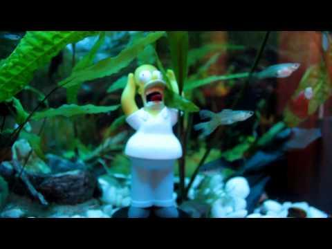 Rybki w akwarium - gupiki Poecilia reticulata.