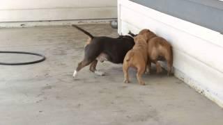 American Bully Dog Fight!! Bully Battle!!