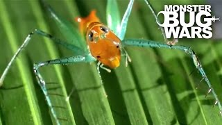 Bug Eyed Katydid vs Candy Cane Katydid | MONSTER BUG WARS