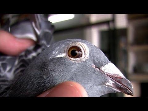 Kod Adı : Şampiyon - Posta Güvercinleri ve Yarışları - Bölüm 1/4
