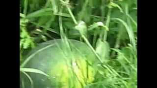 getlinkyoutube.com-Как вырастить арбуз на огуречной грядке