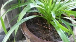 getlinkyoutube.com-ต้นไม้น่ารู้ EP5 ต้นเสน่ห์จันทร์ผา ไม้ประดับ