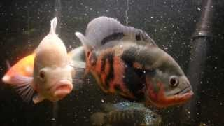 getlinkyoutube.com-Oscar Fish Mating Behavior