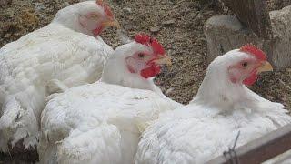 getlinkyoutube.com-Забой кур бройлеров в домашних условиях  Видео ч 2 Забой, пропаривание забитой птицы, снятие пера