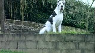 getlinkyoutube.com-Le Dogue Allemand : Origine, personnalité, éducation, santé, hygiène, choix du chiot