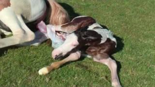 getlinkyoutube.com-geboorte veulen