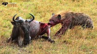 getlinkyoutube.com-ابشع لقطات (الضباع) تأكل الحيوانات وهي حيه لا رحمه لديها +Stronger Shots (Hyenas) Eat Animals 18 .