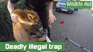 getlinkyoutube.com-Deadly illegal trap and wildlife rescuer bitten!