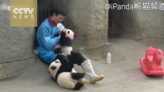 Cute Alert! Clingy panda acts up and rolls around for milk in Chengdu zoo