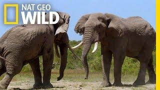 Waring Elephants | Deadly Instincts