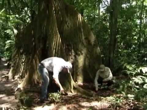 Reflorestamento com árvore nativa do Brasil (1) - Programa Globo Rural