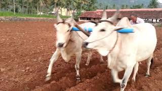 getlinkyoutube.com-Kumaresan farms- bull husbandry(காளை வளர்ப்பு ) bull ploughing