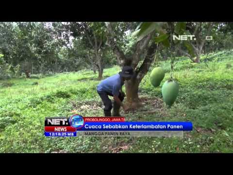 NET12 - Panen raya mangga harum manis di Probolinggo