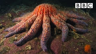 getlinkyoutube.com-Zombie Starfish - Nature's Weirdest Events: Series 4 Episode 3 Preview - BBC Two
