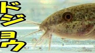 getlinkyoutube.com-【魚とり】天然ドジョウをペットボトルの罠にはめて飼う!