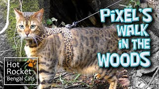 Bengal cat Pixel takes a walk in the woods (HD, long version)
