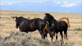 getlinkyoutube.com-Wild Stallions fighting 2