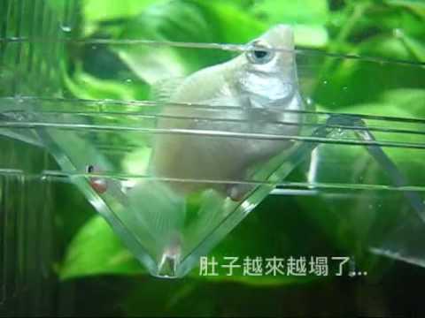 980107大白球魚生球魚寶寶