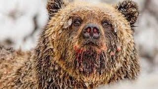 Documentary Bears 2017 HD - Hollywood's Killer Bear National Geographic