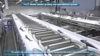 getlinkyoutube.com-Производство охлажденной семги. Fish processing. Salmo salar