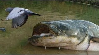 getlinkyoutube.com-CATFISH VS PIGEON NEW AMAZING FOOTAGE by CATFISHING WORLD
