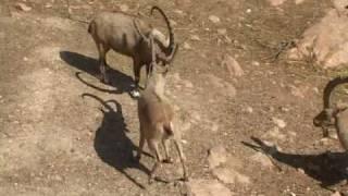 getlinkyoutube.com-zoo israel גן החיות התנכי ירושלים 08 / EGA