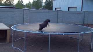Baby Goat discovers trampoline
