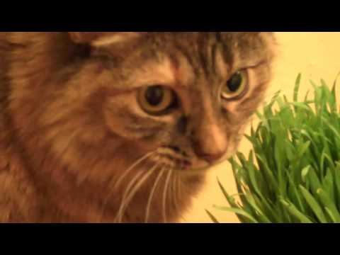 Cat makes funny noises while eating