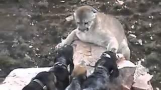 getlinkyoutube.com-สิงโตภูเขาจนมุม! เจอฝูงหมาต้อน