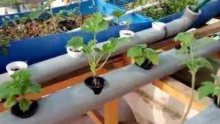 getlinkyoutube.com-الزراعة المائية بواسطة الاسماك .
