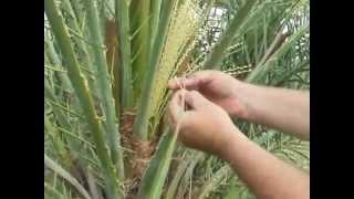 getlinkyoutube.com-Date Palm Pollenation
